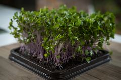 Microgreen Photographie stock