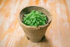 microgreen dorośnięcie w organicznie garnku zdjęcia royalty free