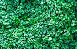 microgreen Gebladerteachtergrond De hoogste meningsvlakte lag stock fotografie