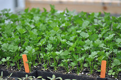 Microgreen Herbs Royalty Free Stock Image