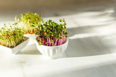 Microgreen kress, pink radish sprouts on white wooden background in trendy hard direct sunlight, deep shadows, copy space. Vegan, vegetarian, healthy eating royalty free stock photo