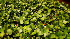 microgreen les dessus Photographie stock