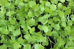 Microgreen van arugula groene achtergrond royalty-vrije stock fotografie