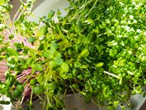 A microgreen is a young vegetable green. A microgreen or Sprouts in plastic boxes are raw living sprout vegetables germinated from. High quality organic plant stock photography