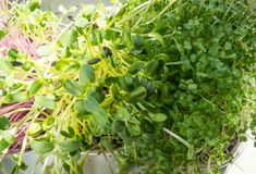 A microgreen is a young vegetable green. A microgreen or Sprouts in plastic boxes are raw living sprout vegetables germinated from. High quality organic plant royalty free stock photos