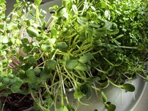 A microgreen is a young vegetable green. A microgreen or Sprouts in plastic boxes are raw living sprout vegetables germinated from. High quality organic plant stock photo