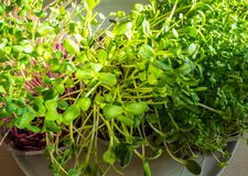 A microgreen is a young vegetable green. A microgreen or Sprouts in plastic boxes are raw living sprout vegetables germinated from. High quality organic plant stock image