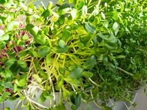 A microgreen is a young vegetable green. A microgreen or Sprouts in plastic boxes are raw living sprout vegetables germinated from. High quality organic plant royalty free stock images