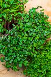 A microgreen is a young vegetable green. A microgreen or Sprouts are raw living sprout vegetables germinated from high quality org. A microgreen is a young stock photography