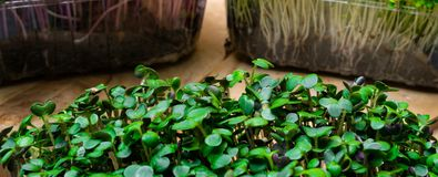 A microgreen is a young vegetable green. A microgreen or Sprouts are raw living sprout vegetables germinated from high quality org. A microgreen is a young royalty free stock photography