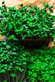 A microgreen is a young vegetable green. A microgreen or Sprouts are raw living sprout vegetables germinated from high quality org. A microgreen is a young royalty free stock image