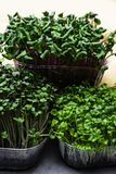 A microgreen is a young vegetable green. A microgreen or Sprouts are raw living sprout vegetables germinated from high quality org. A microgreen is a young royalty free stock images