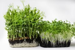 A microgreen is a young vegetable green. A microgreen or Sprouts are raw living sprout vegetables germinated from high quality. Organic plant seeds with copy royalty free stock photography