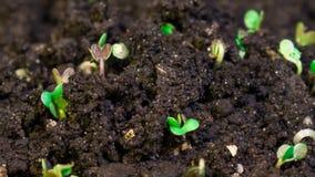 Microgreens роста, киносъемка timelapse видео- видеоматериал