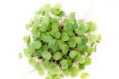Microgreens-Abschluss oben lizenzfreie stockfotografie