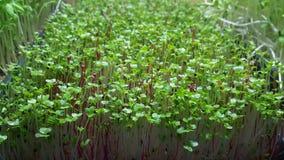 Microgreens crescenti Fotografie Stock