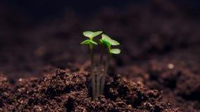 Microgreens de croissance, pelliculage visuel de timelapse banque de vidéos
