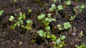 Microgreens di crescita, video contaminazione del timelapse stock footage