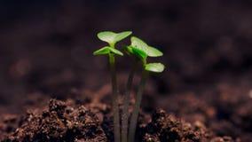 Microgreens do crescimento, pel?cula video do timelapse