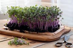 Microgreens för röd kål som är fullvuxna inomhus i jord royaltyfria bilder