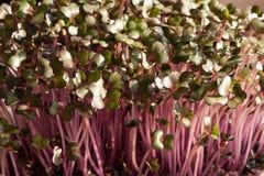 Microgreens för röd kål som inomhus växer i jord royaltyfria bilder