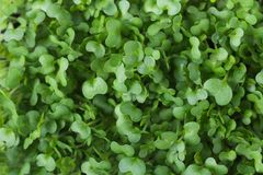 Microgreens Foliage Background. Young Fresh Potted Water Cress. Gardening Healthy Plant Based Diet Food Garnish Concept. Minimalist Style. Top View Flat Lay royalty free stock photography
