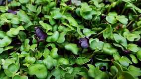 Microgreens in grow lights. Cabbage kale broccoli micro greens growing in led light indoors on urban farm stock photo