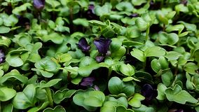 Microgreens in grow lights. Radish Cabbage kale broccoli beet Swiss char micro greens growing in led light indoors on urban farm stock image