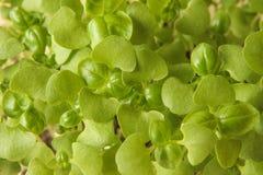 Microgreens novos da manjericão com dois cotilédones e os primeiros pares de folhas verdadeiras Imagem de Stock Royalty Free