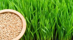 Microgreens R Panoramicznego Wheatgrass ostrzy pucharu Czerwone Pszeniczne jagody Fotografia Stock