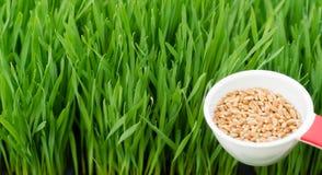 Microgreens R Panoramicznej Wheatgrass ostrzy miarki Czerwone Pszeniczne jagody Zdjęcie Royalty Free