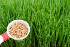 Microgreens R Panoramicznej Wheatgrass ostrzy miarki rewolucjonistki banatki Zdjęcia Stock