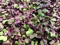 Microgreens - radish close up Stock Image