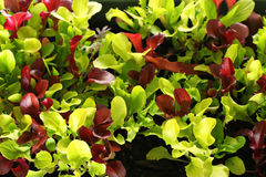Microgreens upclose. Shot of micro greens upclose Stock Photos