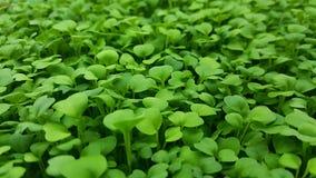 Microgreens verde splendido immagini stock libere da diritti