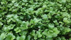 Microgreens verde splendido fotografia stock