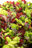 Microgreens Vertikale Stockfoto