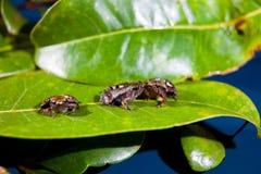 Microhyla achatina -爪哇合唱青蛙 免版税库存图片