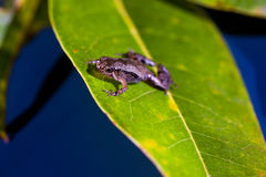 Microhyla achatina -爪哇合唱-青蛙 免版税库存图片