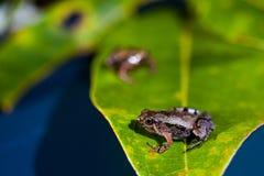 Microhyla achatina -爪哇合唱-青蛙 库存图片