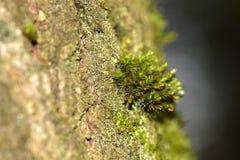 Microkosmos: mooi mos op de schors van een boom stock afbeelding