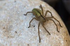 Micrommata virescens蜘蛛 库存图片