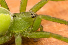 Micrommata virescens portrait Stock Images