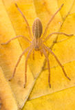 Micrommata virescens spider in nature Stock Photos