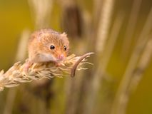 Harvest Mouse in wheat field Stock Photos