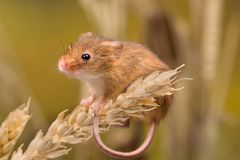 Harvest Mouse on wheat ore Stock Photography