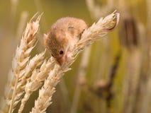 Micromys minutus mouse Royalty Free Stock Photo