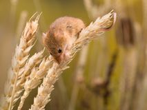 Micromys minutus mouse. Micromys minutus or Harvest Mouse in wheat field royalty free stock photo