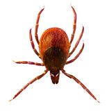 Microphoto of a Tick Ixodes Ricinus. Micro Photo of a Tick Ixodes Ricinus stock image