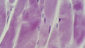 Microphotography striated μυς Στοκ φωτογραφία με δικαίωμα ελεύθερης χρήσης